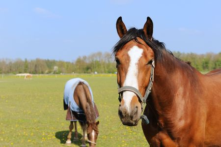 Brown horses outdoor in the sunny fields