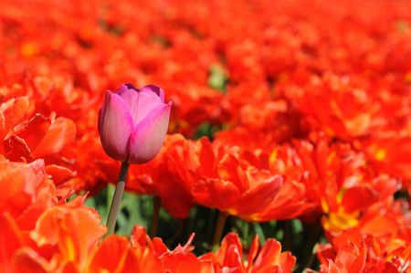 One pink tulip in a red field to feel the difference photo