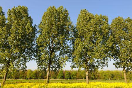 cole: Una fila di alberi e cole sementi nel paesaggio