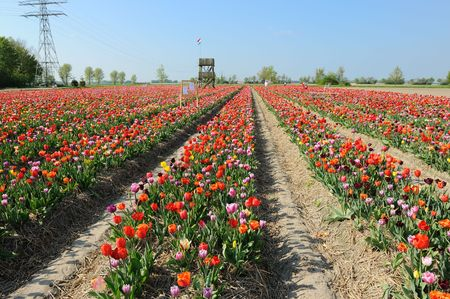 rows with colorful tulips as typical agriculture in Holland photo
