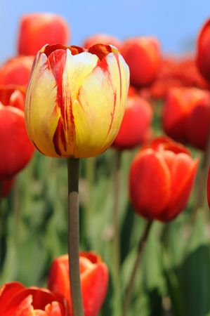 colorful tulips as typical agriculture in Holland photo