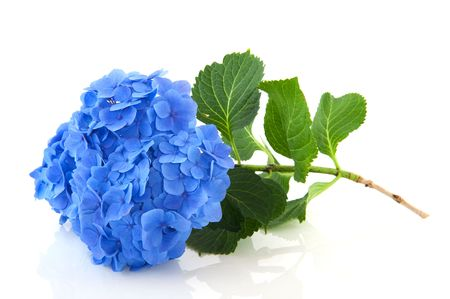 Blue French Hydrangea with leaves isolated over white