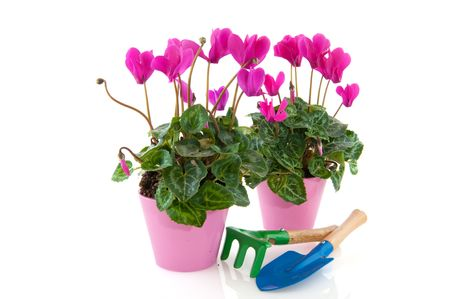 shove: Pink cyclamen in flower pot with garden tools isolated over white