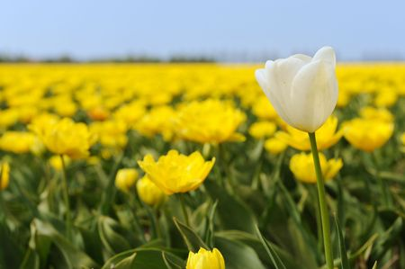 White tulip in front of yellow flower fields photo
