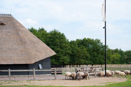 sheepfold: Dutch typical sheep fold with animals outdoor