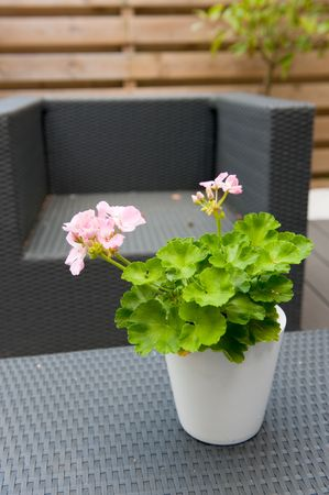 Pelargonium in garden with modern furniture outdoor photo