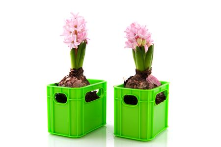 two pink Hyacinths with flower bulbs and white background photo
