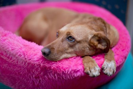 humilde: Lindo perro hembra marr�n en la cesta de la Rosa