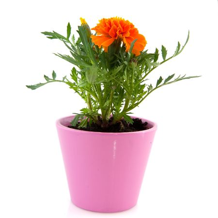 Single Orange Tagetes in pink flower pot isolated over white Stock Photo - 6139460
