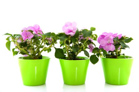 A row of pink Impatiens isolated over white Stock Photo - 6139474