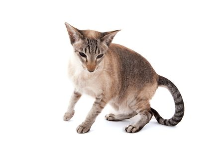 Siamese cat with tabby points isolated over white photo