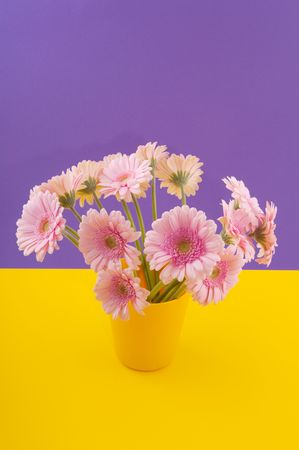 Pink Gerber flowers on purple and yellow background Stock Photo - 6219609