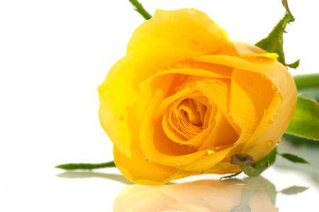 Single wet fresh yellow rose isolated over white photo