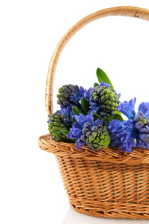 hyacinths: Blue Hyacinths in natural basket isolated over white