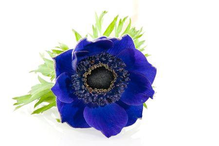 anemone flower: Singolo fiore Anemone blu su sfondo bianco