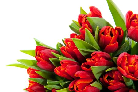 Red tulips in a corner isolated over white Stock Photo