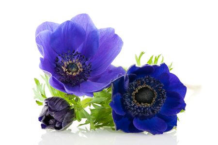 blue Anemones flowers open and with bud on white background