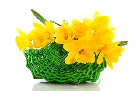 Green basket filled with yellow daffodils in spring