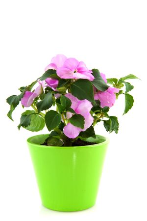 impatiens: Impatiens for the garden in green flower pot