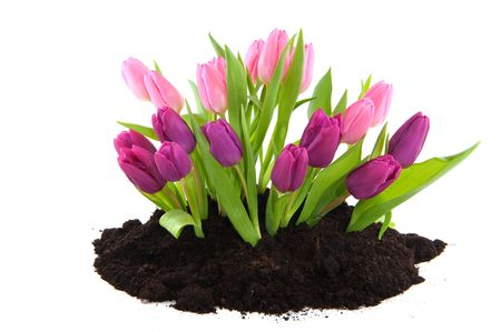 Garden in spring with pink and purple tulips photo