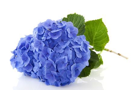 Blue Hydrangea flowers in nature isolated over white photo