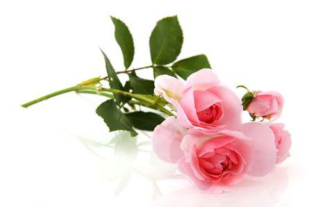 白で分離された庭からピンク自然バラ 写真素材
