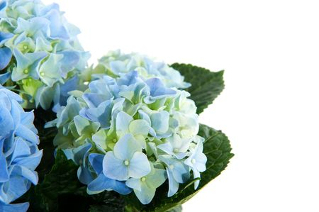 Blue Hydrangea in corner with copy space
