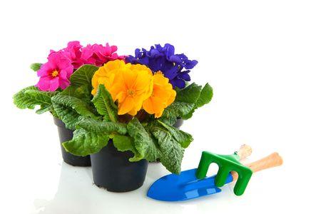 primulas: Primulas with different colors in colorful buckets