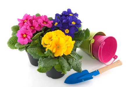 Primulas with different colors in colorful buckets Stock Photo - 6509164