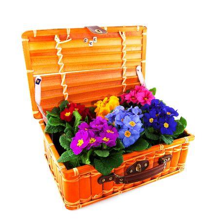 primulas: colorful Primulas in rattan basket isolated over white Stock Photo