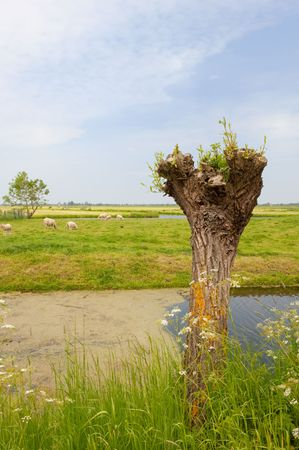 Typical Dutch landscape with knotted willow in front Stock Photo - 6512449