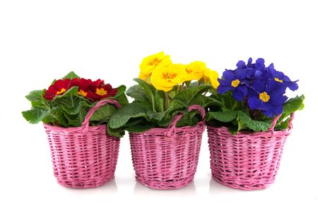 primulas: Primulas with different colors in pink baskets