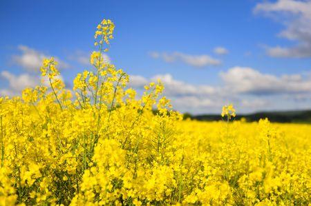 cole: Paesaggio con sementi giallo cole e nuvole  Archivio Fotografico