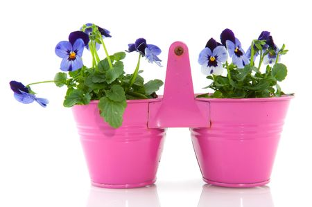 Blue Violets in pink buckets for the garden photo