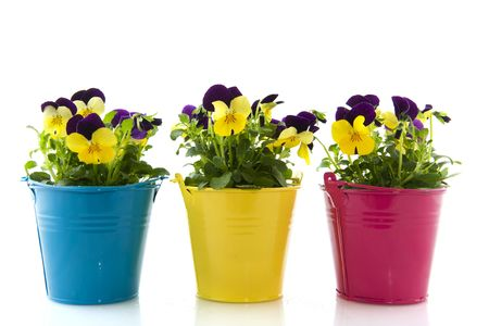 flower pot: Yellow and purple Violets in colorful buckets