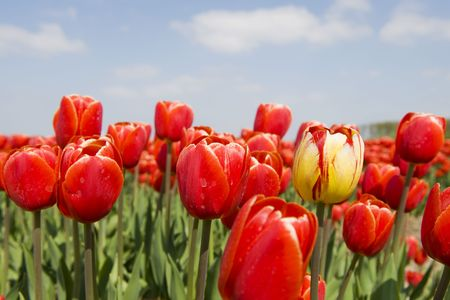 exception: Landscape with red tulips and one yellow exception Stock Photo