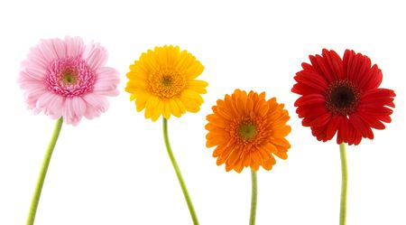 Four colorful Gerber on stalk in a row Stock Photo