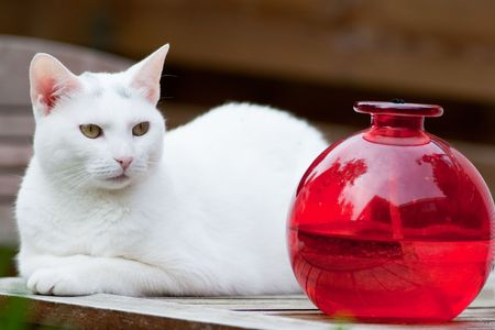 red oil lamp: White cat is laying at the table with red oil lamp