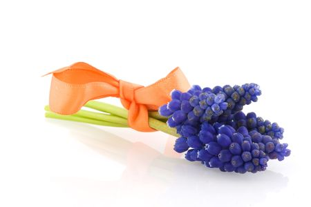 Blue grape Hyacinths or Muscari isolated over white photo