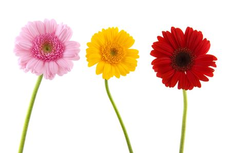 Three colorful Gerber in pink red and yellow photo
