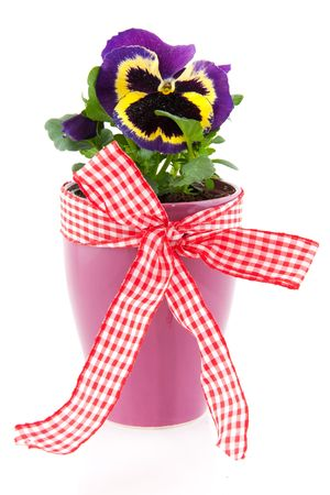 Cheerful and colorful Pansy for decoration in the garden photo