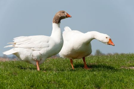 Couple gooses in Dutch landscape near the river photo