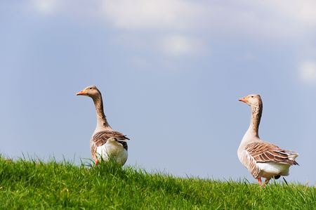 couple gooses at the dike in the grass