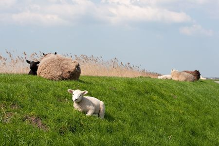 Sheep with lambs on the dike in Holland photo