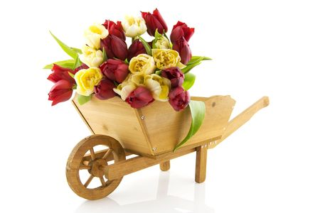 Gardening in spring with wooden wheelbarrow and tulips photo
