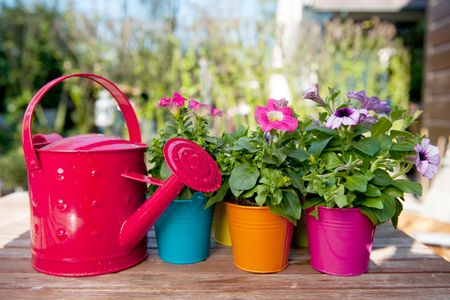 petunia: Petunia flowers and watering can with many colors Stock Photo