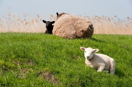 eempolder: Sheep with lambs on the dike in Holland