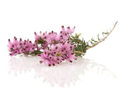Paarse heather bloemen met reflecties tegen witte achtergrond Stockfoto