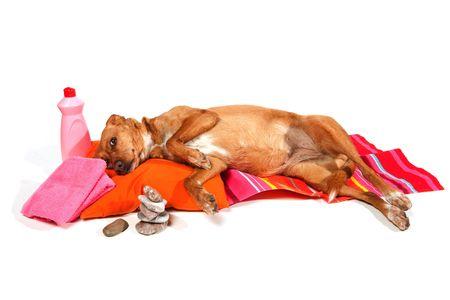 curare teneramente: Cane marrone � rilassante nel salone di bellezza de
