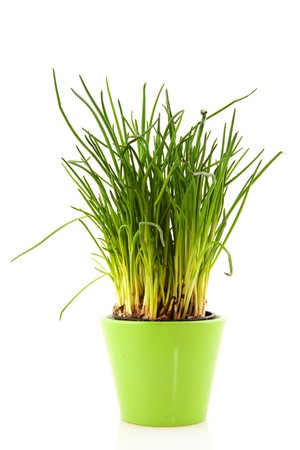 chives: Fresh chives for kitchen use in reen flower pot